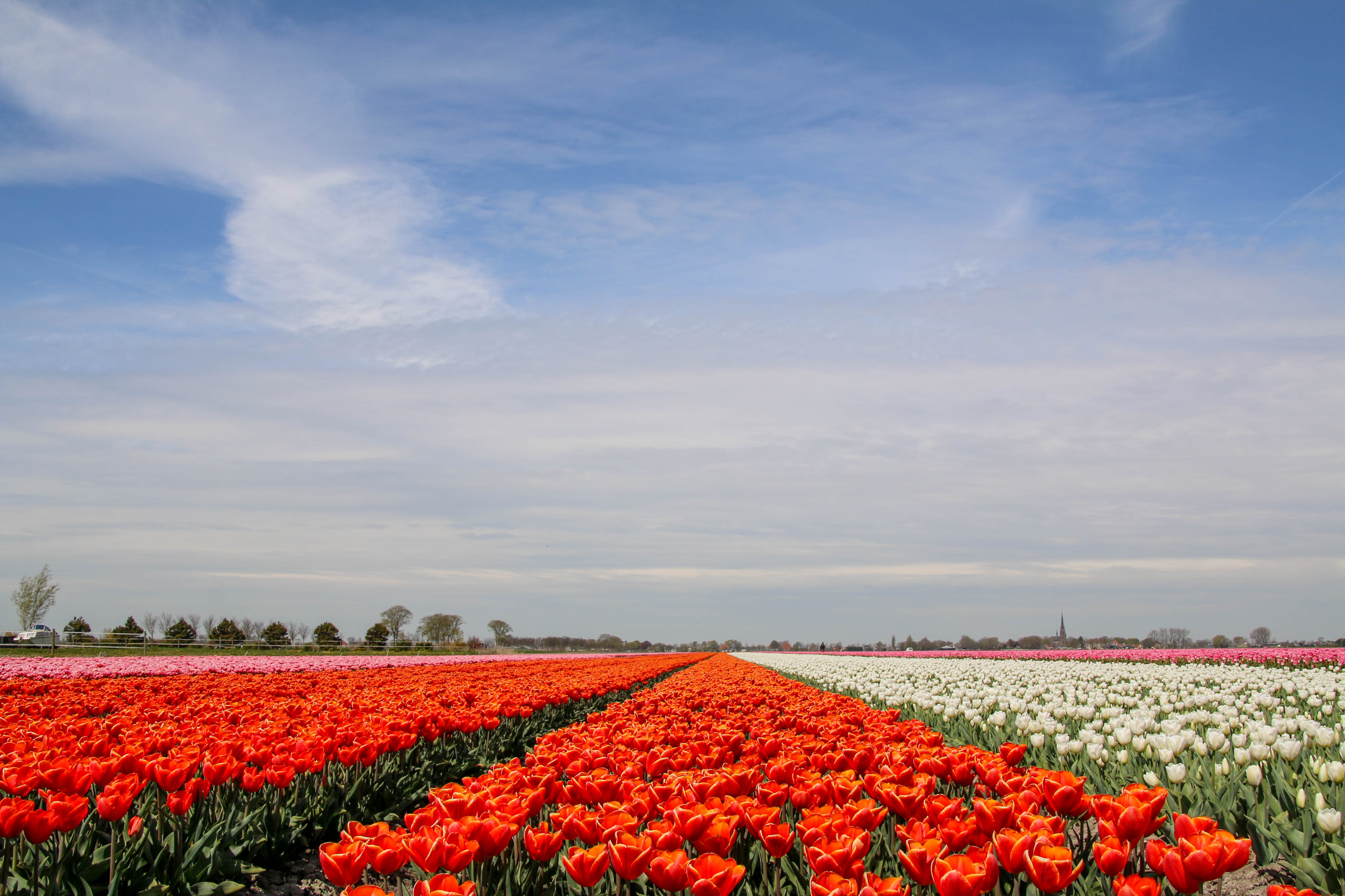 flo daph - tulpen - bijzonderestreken 7