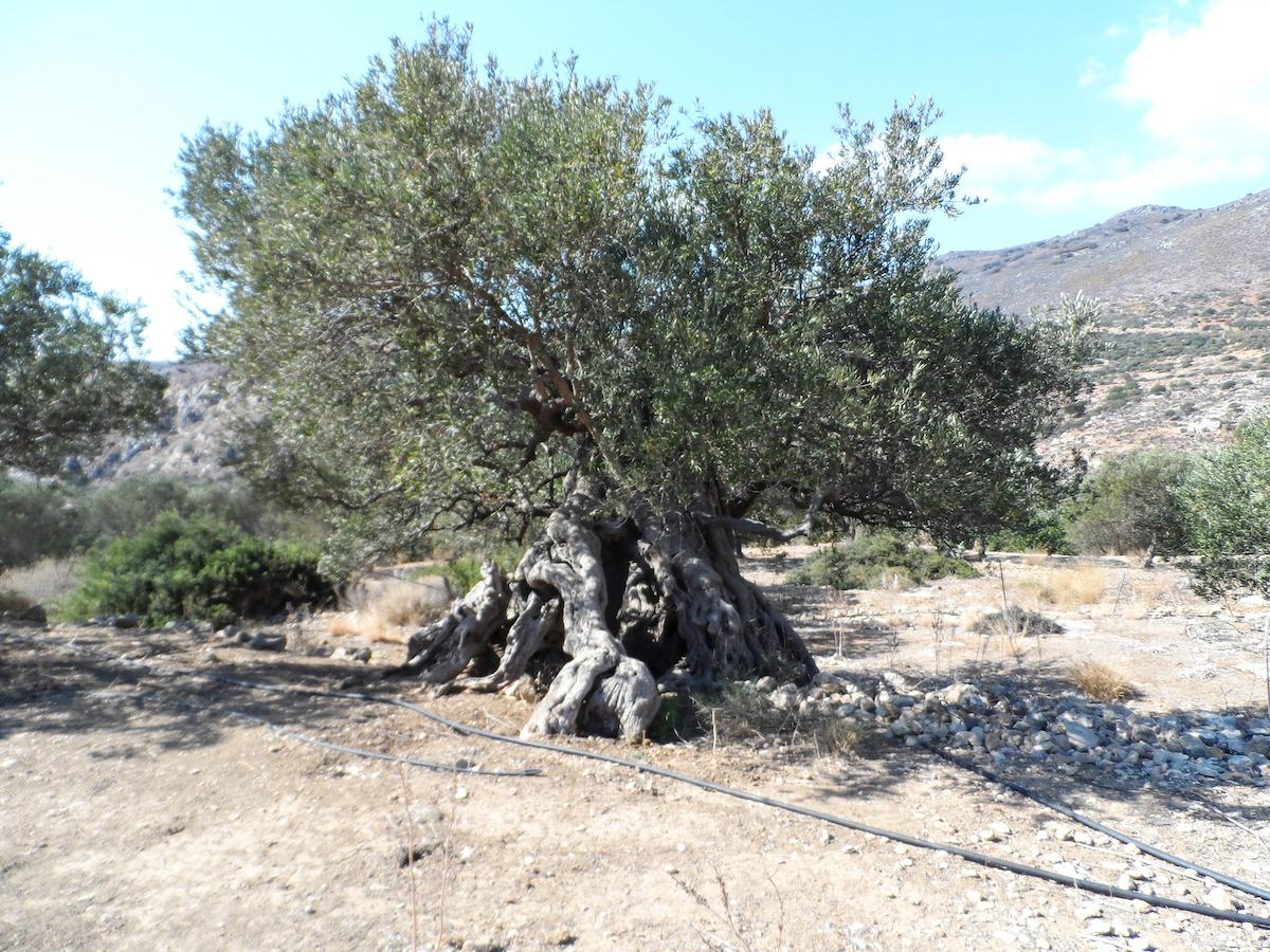 olijfboom-kreta-2