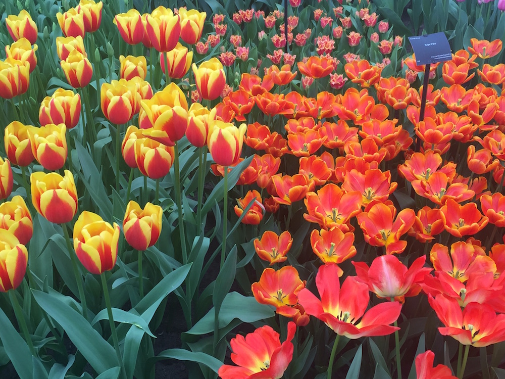 Bezoek Keukenhof het mooiste bloemenpark ter wereld in het voorjaar wanneer alle tulpen tot bloei komen