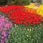 Een bloemenzee aan bloemen in het mooiste bloemenpark van de wereld in Keukenhof