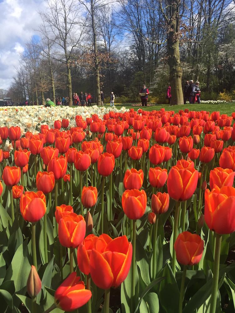 een perk met rode tulpen